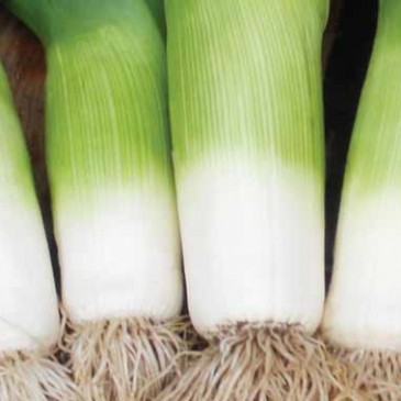 Grow So Easy: Leeks