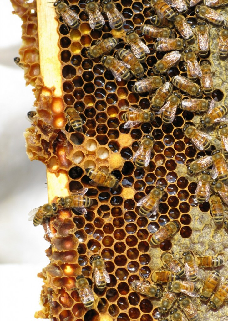 honey_bees_insect_social_insect